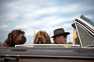 Zwei Hunde im Mietauto