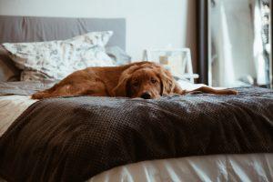 hund im Hotelzimmer auf Bett